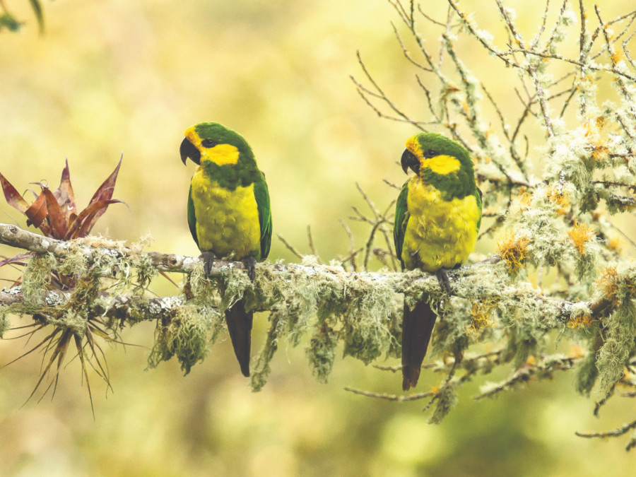 Yellow-eared Parrot by Bancrepublica